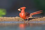 Texas, Rio Grande Valley, Sanata Clara Ranch, Cardinal (Male)