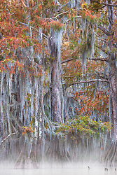 """A """"portrait"""" of one of Louisiana's bald cypress trees with moss and fall foliage."""