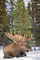bull moose, Alces alces, in snow, Denali National Park,, Alaska, USA