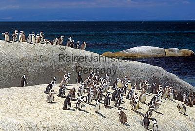 South Africa, near Cape Town, Simon's Town: Boulders Beach - Jackass penguins (Spheniscus demersus)