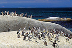 South Africa, near Cape Town, Simon's Town: Boulders Beach - Jackass penguins (Spheniscus demersus)
