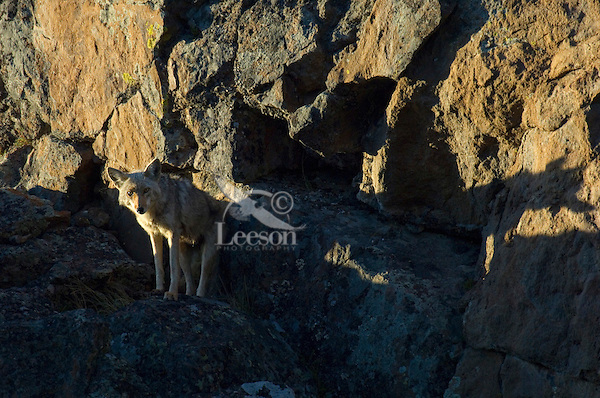 Wild Coyote (Canis latrans) in last light on rocky, cliff face.  Western U.S., June.