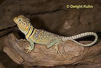 1R17-550z  Collared Lizard, Male, Crotaphytus collaris