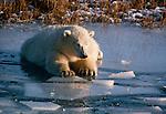 Polar bear, North America