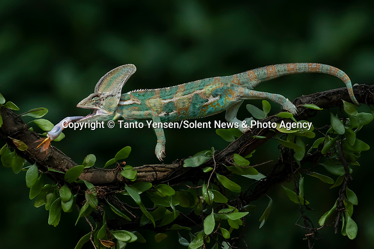 SEQUENCE 6 OF 9:  A chameleon balances on a thin branch as it catches a dragonfly with its long and sticky tongue.  The brightly patterned reptile leans forward to strike at the small orange insect.<br /> <br /> The images were captured by professional photographer Tanto Yensen, in Jakarta, Indonesia.   SEE OUR COPY FOR DETAILS<br /> <br /> Please byline: Tanto Yensen/Solent News<br /> <br /> © Tanto Yensen/Solent News & Photo Agency<br /> UK +44 (0) 2380 458800