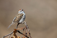 Chipping Sparrow (Spizella passerina passerina), male in breeding plumage singing on its breeding territory at Connetquot River State Park Preserve, Oakdale, Long Island, New York.