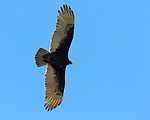 Turkey Vulture, Sepulveda Wildlife Refuge, Southern California
