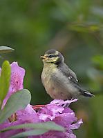 Blaumeise, Jungvogel im Garten auf Rhododendron - Blüte, Blau-Meise, Meise, Jungvögel, Cyanistes caeruleus, Parus caeruleus, Blue Tit, Mésange bleue
