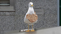 A seagull with part of a paper bag wrapped around its neck rests on a litter bin in Oxford Street, Swansea, Wales, UK. Sunday 21 February 2021