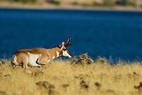 Pronghorn (Antilocapra americana) buck running.  Western U.S., fall.