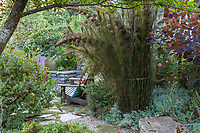 Restio rhodocoma capensis (Giant Cape Restio), planted in gravel for drainage in Shelagh Tucker front yard garden, Seattle, Washington