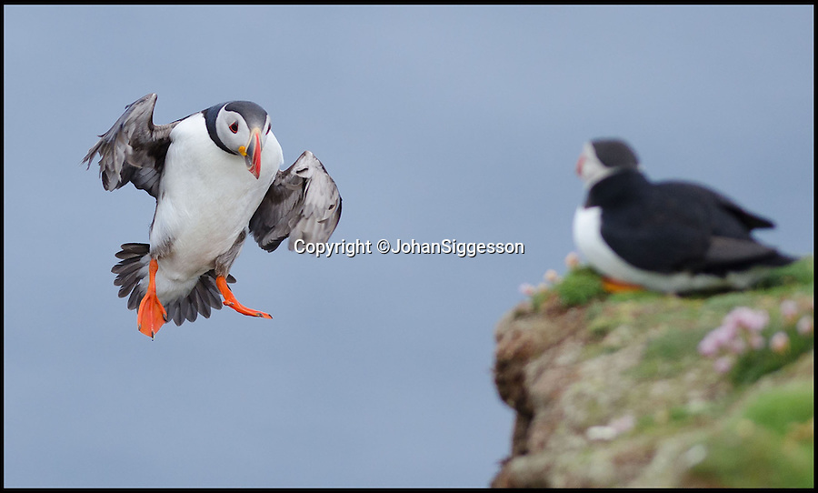 "BNPS.co.uk (01202 558833)<br /> Pic: JohanSiggesson/BNPS<br /> <br /> ***Please Use Full Byline***<br /> <br /> Incoming.....<br /> <br /> Puffin Eck - windy weather leads to tricky landings for Fair isle Puffins.<br /> <br /> The comical acrobatics of a colony of cute puffins has been captured by amateur phoographer Johan Siggesson on a blustery day out to the remote Scottish island.<br /> <br /> The birds aerial dexterity was tested to the limit in the adverse weather, frantically flapping their wings whilst being blown off to the side, others appeared to almost nose dive to the ground.<br /> <br /> Eventually, they came to land on a grassy patch of land but had to keep flailing around to stop themselves being whirled away in the strong gusts.<br /> <br /> Johan, 37, a photographer from Gzira in Malta, said: ""I was on a trip to Fair Isle and I was there for six or seven days just to see the puffins."