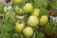 Tomate, Tomaten, unreife Frucht, Früchte, Kulter-Tomate, Lycopersicum esculentum, Solanum lycopersicum, tomato