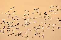 Nonnengans, Schwarm, Gänseschwarm, Vogelschwarm, Nonnen-Gans, Weißwangengans, Weißwangen-Gans, Weisswangengans, Weisswangen-Gans, Gans, Branta leucopsis, barnacle goose