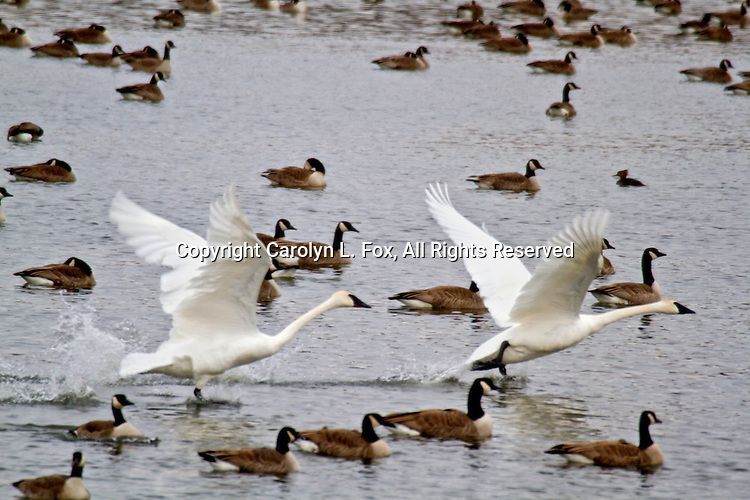 Two trumpeter swans take off as a group of Canadian Geese swim on Lake Remembrance in Blue Springs, Missouri.