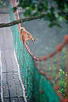 Maroon Langur, Maroon Leaf Monkey, or Red Leaf Monkey (Presbytis rubicunda) using a canopy walkway for resting and to move through the tree-tops in lowland dipterocarp forest. Danum Valley, Sabah, Borneo.