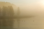 Canada Geese on the Yellowstone River during a foggy morning.