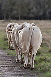 Damon, Texas; several Charolais bulls walking in single file behind a female in heat in hopes of getting to mate