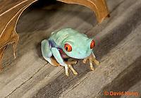 0306-0909  Red-eyed Tree Froglet (Young Frog), Agalychnis callidryas  © David Kuhn/Dwight Kuhn Photography.