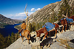 Cowboy leading a string of mules down a steep granite slope in the high Sierra Nevada, California (Sean Garrell)