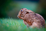 Oh no!  Shocked looking hare has a clean by Richard Ellis