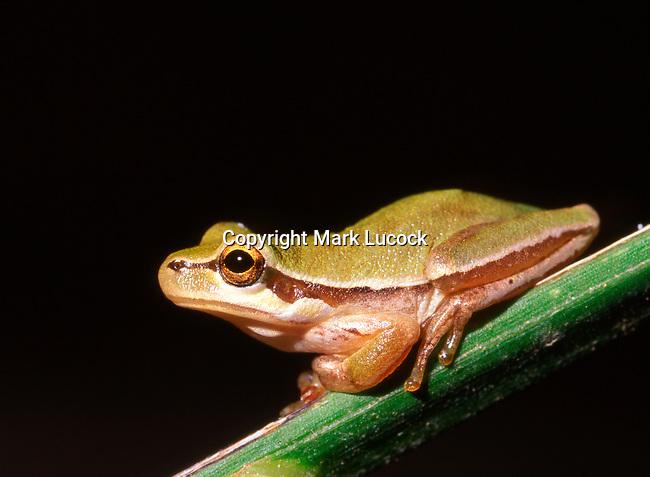 Asian Tree Frog, Cyprus
