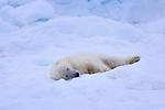A polar bear sleeps on a bed of snow, Svalbard, Norway.