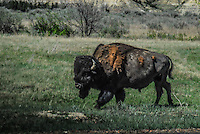 American Buffalo, grazing, roaming and relaxing at Roosevelt National Park