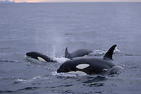 Killer whales surfacing during hunt, Orcinus orca, Tysfjord, Arctic Norway, North Atlantic