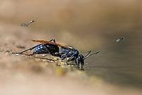 Tarantula Hawk Wasp, Santa Clara Ranch, Edinburg, Texas