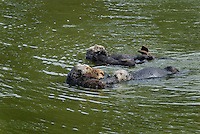 Sea Otter (Enhydra lutris) moms with pups being investigated by single sea otter--probably a male checking to see if mothers are ready to mate.