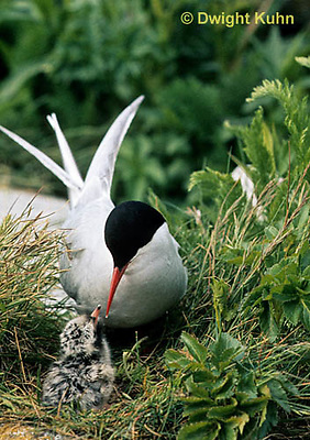 MC69-081z  Arctic Tern - adult at nest with chick - Machias Seal Island, Bay of Fundy - Sterna paradisaea