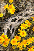Wallace's Woolly Daisy (Eriophyllum wallacei) in the Newberry Mountains along Christmas Tree Pass Road Lake Mead Recreation Area, near Laughlin, Nevada