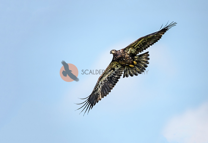 Juvenile Bald Eagle soaring in flight with both wings outstretched
