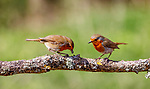 Pictured:  Sequence 5 of 9:  The male robin (right) watches on as the female places the fly on the branch.<br /> <br /> A courting ritual between two robins is cut short - after the female drops an insect the male was trying to feed her.  The female stands ready to receive the fly in her open beak but after it is dropped both glance disappointedly at the floor, and the male flies down in an attempt to retrieve it.<br /> <br /> This exchange of food is an integral part of the courtship between robins and was captured by professional photographer Ivor Ottley in Suffolk.  SEE OUR COPY FOR DETAILS.<br /> <br /> Please byline: Ivor Ottley/Solent News<br /> <br /> © Ivor Ottley/Solent News & Photo Agency<br /> UK +44 (0) 2380 458800