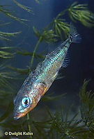 1S12-085z  Three Spined Stickleback - male with reproductive colors - red belly, blue eyes - Gasterosteus aculeatus