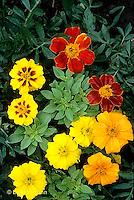 HS35-047x  Lemon scented basil with disco marigold - Ocimum basilicum, Tagetes spp.