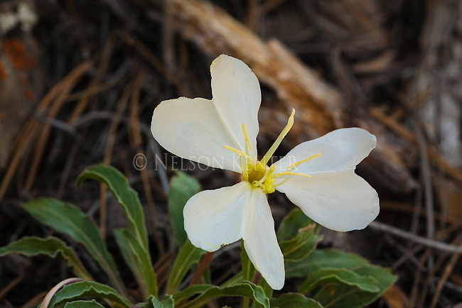 The Evening Primrose is a large three petaled wildflower in Montana
