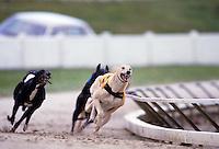 Greyhounds racing around a track