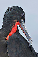 Great Frigatebird (Fregata minor), adult preening, Seymour Norte Island, Galapagos Islands, Ecuador, South America