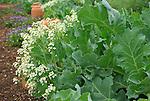 Monticello. Thomas Jefferson estate vegetable garden. Sea kale