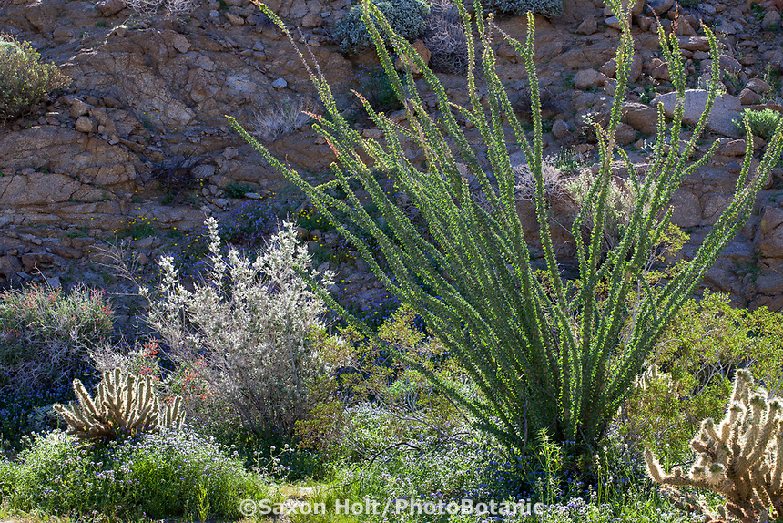 Glorieta Canyon desert landscape with Ocotillo (Fouquieria splendens), Desert Lavender (Condea emory), Cholla cactus, and wildflowers, California native plant Anza Borrego State Park. Superbloom 2017