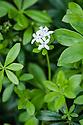 Woodruff (Galium odoratum), mid June.