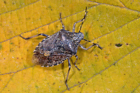 Graue Gartenwanze, Graue Feldwanze, Rhaphigaster nebulosa, Mottled Shieldbug, Mottled shield bug, Brown-mottled shield bug, Brown-mottled shieldbug