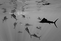 Atlantic Sailfish hunting Sardines, Istiophorus albicans, black and white, Isla Mujeres, Yucatan Peninsula, Caribbean Sea, Mexico, Atlantic