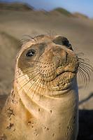 northern elephant seal, Mirounga angustirostris, San Simeon, central California, USA, Pacific Ocean