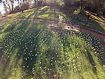 Daffodil Hill from a small quad copter on the last day of winter near Volcano, Calif.