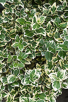 Euonymus fortunei Emerald Gaiety variegated green and white foliage shrub leaves