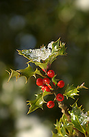 Ice on a holly tree, Whitewell, Lancashire.