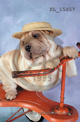 Interlitho, Alberto, ANIMALS, dogs, photos, shar pei, tricycle(KL15457,#A#) Hunde, perros